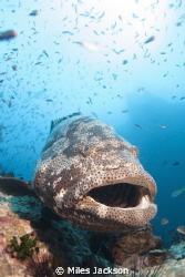Curious Brown Marbled Grouper loves posing for the camera by Miles Jackson 
